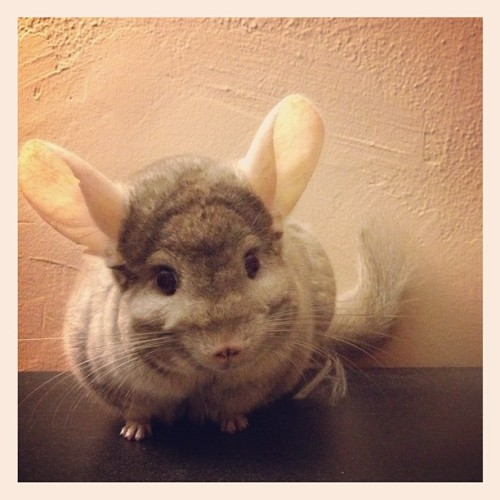 "thefluffingtonpost:  Chinchilla Sued for Trademark Infringement Mittens, a mild-mannered chinchilla from Philadelphia, has found himself embroiled in a bitter lawsuit over his very name. ""Mittens is quite obviously a feline name,"" says Arnold Sawyer, the attorney filing charges on behalf of a cat family with the same moniker. ""It even rhymes with kittens. I mean, come on."" The Mittens kitten family goes back 12 generations, and senior members of the household are not too keen on a chinchilla walking around with their brand. Opponents of the lawsuit claim the family cannot simply trademark a common word. Submitted Eric Smith.  DO WANT!!! LOOK AT IT'S EARS & IT'S TINY PAWS & IT'S WHISKERS OH MY GOD THE CUTE"
