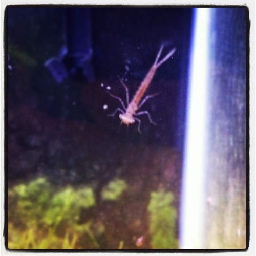 Damselfly larve I found in my fishtank!