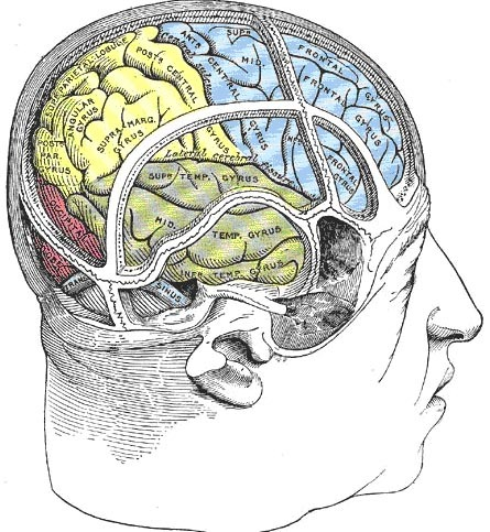 The four lobes of the cerebral cortex  1. Frontal lobe - conscious thought; damage can result in mood changes; 2. Parietal lobe - plays important roles in integrating sensory information from various senses, and in the manipulation of objects; portions of the parietal lobe are involved in visuospatial processing. 3. Occipital lobe - sense of sight; lesions can produce hallucinations. 4. Temporal lobe - senses of smell and sound, as well as processing of complex stimuli like faces and scenes. Further: The insula is a portion of cortex in between and covered by the temporal and parietal lobes. Some consider it as a separate lobe, but others as a part of the limbic structure deep in the brain.