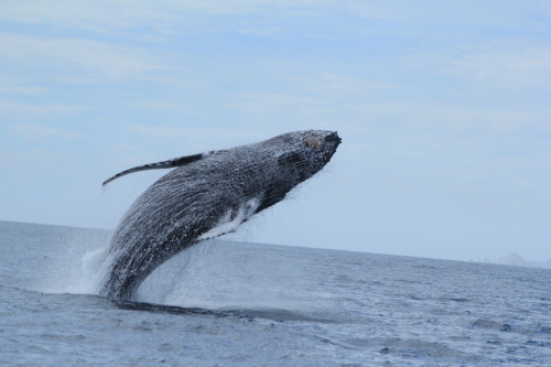 Another breach shot. The flight of the mighty Humpback.