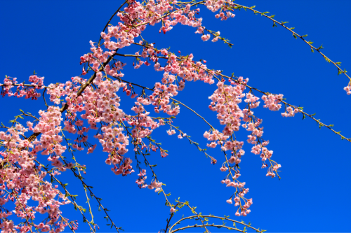 Last years photo of my Cherry Blossom Tree in New York. My front tree….This tree has been there for years.  I planted the Weeping Cherry.