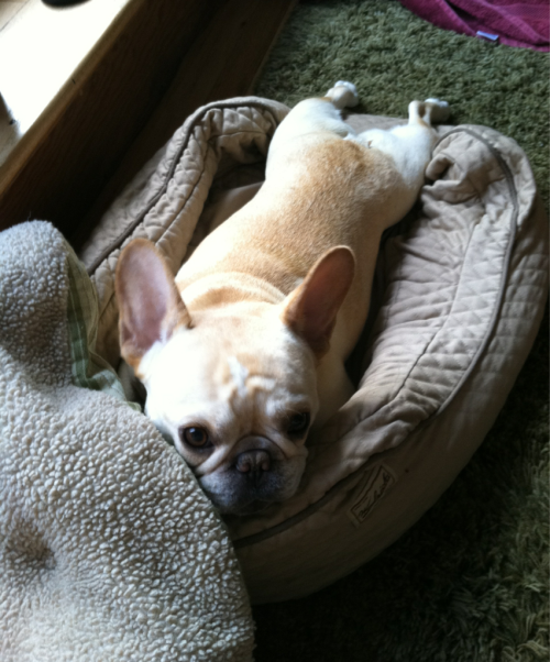 frenchiesrule:  thedailywalter:  so today was t-day for walter and he got through it like a champ! he's awake and recovering, and we pick him up after 5pm. in the meantime, please enjoy this photo from the archives: walter kicking it on a sunny day. yay!  Yay! walter - hope you are feeling better soon.