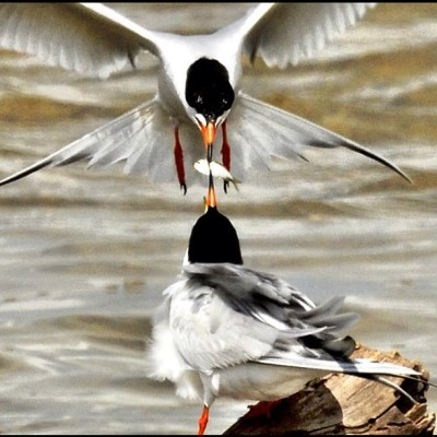 Lunch for a young tern. #nature #galveston #texas #tx #birds #terns #shorebirds #sanluispass #bestoftheday #photooftheday #nature (Taken with Instagram at San Luis Pass )