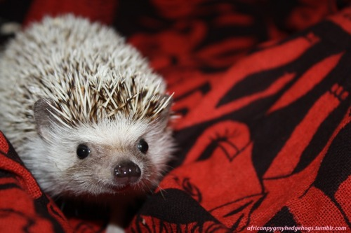 "Just so you know, now every time I see a hedgehog I think ""oh look, Martin Freeman"". TUMBLR WHAT HAVE YOU DONE TO ME."