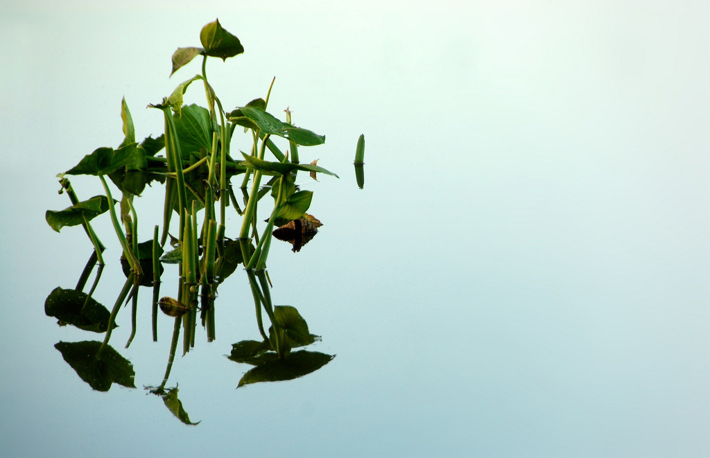 Leaves of a water lily reflect in the quiet water of a pond near Laguna de Sauce, Punta del Este, Uruguay.