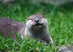 Maybe it's the squinty eyes, but this otter just looks like it's going to make a sarcastic comment and then slap someone upside the head with one of its little paws.