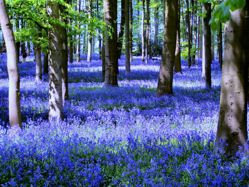 enchantedengland:      The wild bluebells of the woodland near Coton, Northamptonshire. Bluebells are actually hyacinths; I think this is one of three flowers I can name. (kev747 on flickr; who also has a tumblr here)