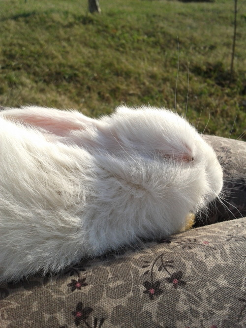 dailybunny:  Bunny Takes a Lap Nap in the Sunshine Thanks, oneclicktwoviews!