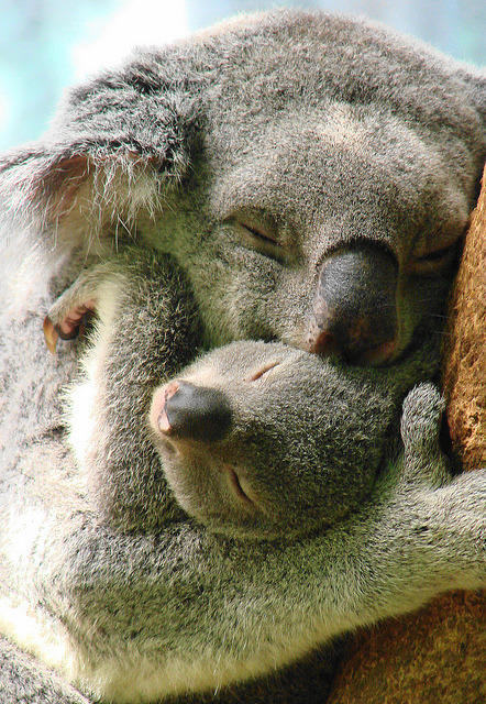 kingdom-of-animals:  Sooo cute  Koala Snuggle by Paula~Koala on Flickr.