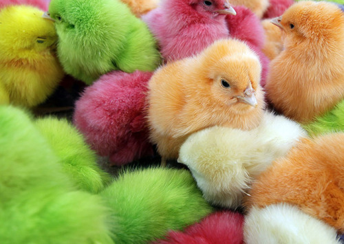 newsflick:  Beiruit, Lebanon: Chicks dyed with artificial colours are sold at a street market. |Photograph: Joseph Eid/AFP/Getty Images via Guardian.