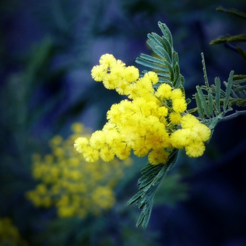 Mimosa by Anne-Claire Simon