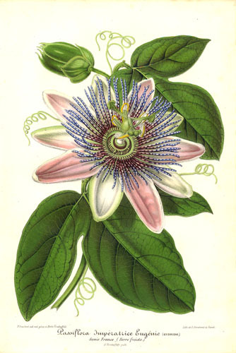 """[Passion flower] can be sprinkled at thresholds to protect the home from disruptions, and in a dream pillow, it will help give quiet dreams….""  Text source: www.alchemy-works.com Image source: genusspecies  Passiflora Impératrice Eugénie…. (via Passifloraceae - Passiflora Impératrice Eugénie.)"