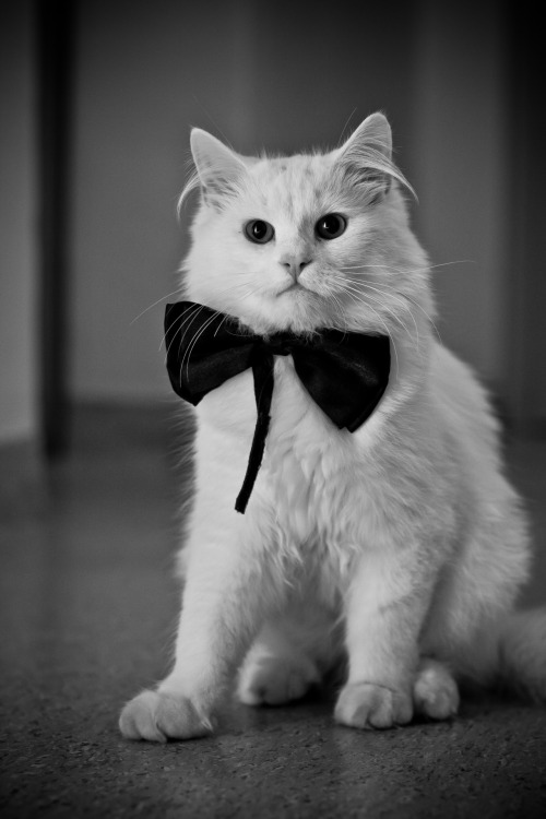 thefluffingtonpost:  PHOTO OP: Dapper Cat Via Cakper.