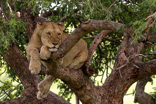 funkysafari:  The tree climbing lions of South Africa by Thomas Retterath