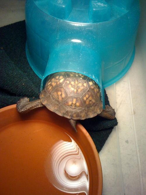 matsi-rhapsody:  Derpiest turtle ever.  A literal herp derp?