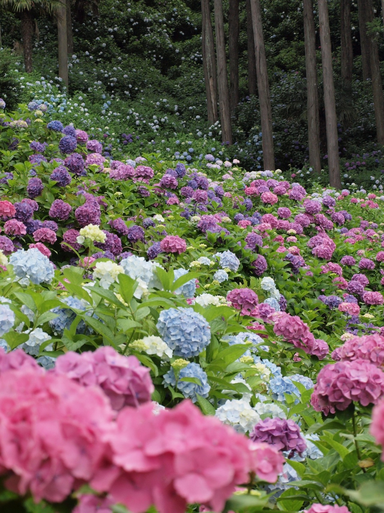 This is quite a remarkable picture considering that the colour of Hydrangeas are determined by two factors: the amount of light the plant receives and the pH of the soil. Though they will tolerate full sun, which they appear to be receiving in this photo, they much prefer and will thrive in partially shady conditions. The blue flowers are produced by a highly acidic soil, while the pink are produced by a neutral or only slightly acidic soil. Considering these plants are bunched so closely together, there must be quite an amazing blend of fertilizers in the soil to grow such a variety of colours in such a small area.