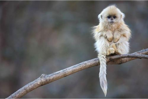 llbwwb:  Chinese monkey By:ademiromano