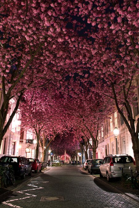 Cherry Blossom Avenue. This gorgeous street scene, in Bonn, Germany, shows beautiful cherry blossoms in full bloom. 20-year-old landcape photographer Marcel Bednarz caught this image earlier this year with his Nikon D3000. Bednarz says that there are only two to three weeks when these trees are at this beautiful stage of blossoming.