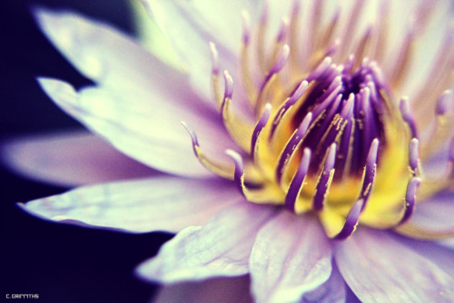 Water lily, taken with my Canon EOS mark 2 I do plan on uploading something more substantial… soon I promise ;P