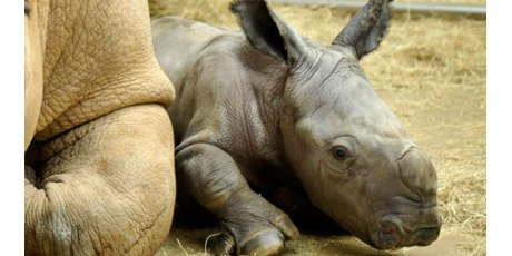 Praying the News: For the Safety and Well-Being of Rhinos   By Frederic and Mary Ann Brussat     The rhino is being hunted into extinction and could disappear forever unless we act now. Statistics show 440 rhinos were brutally killed last year in South Africa by poachers seeking their horns, and more than 100 have already been killed this year. Fueling this devastation is a spike in demand for rhino horns, used for bogus cancer cures, hangover remedies, and good luck charms in China and Vietnam.  And so we pray this news …  A Litany for Animal Protection  by Andrew Linzey  One    For animals neglected and ill-treated  All    Give us new hearts, O God.   One    For animals hunted to death  All    Give us new hearts, O God …   O God  give us new hearts  that we may feel again  the suffering of our  fellow creatures;   deliver us  from ourselves  and the evil  we inflict  on the animal world.   (a pause for reflection)   One    From our denigration of animals  All    Free us, O Lord.   One    From thinking of animals as things  All    Free us, O Lord.   One    From our indifference to cruelty  All    Free us, O Lord.   One    From our systematic exploitation of animals  All    Free us, O Lord.   One    From treating animals as machines  All    Free us, O Lord.   One    From our abdication of responsibility  All    Free us, O Lord.   One    From our spiritual blindness  All    Free us, O Lord.   One    From our shrunken sensibilities  All    Free us, O Lord.   One    From our hardness of heart  All    Free us, O Lord.   — from Animal Rites by Andrew Linzey