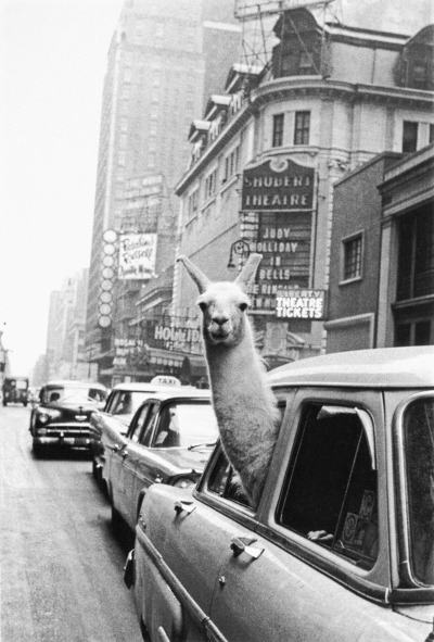 m-osaic:  one of my favourite pictures ever  LLAMA!