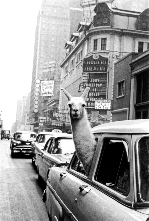 m3zzaluna:  inge morath, a llama in time square, new york city, 1957