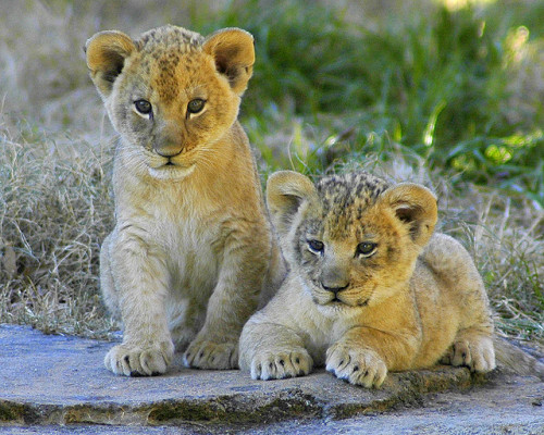 Lion cubs by ucumari on Flickr.