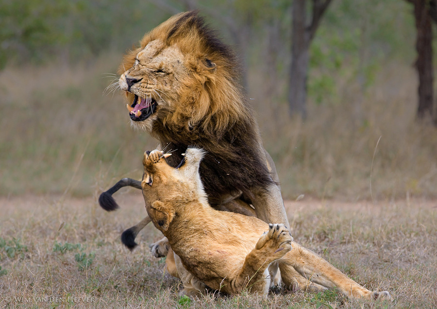 Lion Aggression by Wim van den Heever