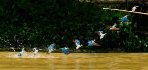 Flight path of the white collared kingfisher C.S. Ling (Singapore) Photographed July 2011, Sabah, Borneo