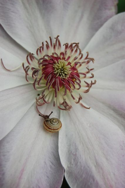thisivyhouse:  Clematis at Dawn