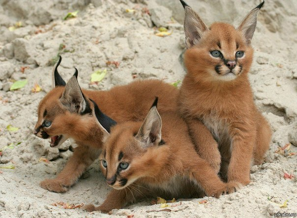 paisley-rose:  Caracal Kittens