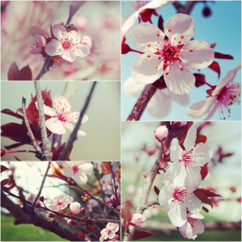 Cherry Blossoms. Taken by me.
