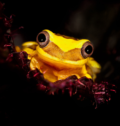 Smiling Golden Tree Frog by dpreview member Matyszyk. Winner of the 'Frogs' User Challenge