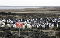 A colony of Gentoo penguins rest in a minefield at Kidney Cove, at a stretch of beach across the Falklands Islands' capital Stanley, on September 9, 2005. Most of the 150 minefields were laid around the capital Stanley when Argentine forces landed there in April of 1982.
