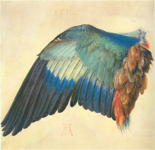 compendium-of-beasts:  Wing of a Blue Roller, 1512, Albrecht Durer