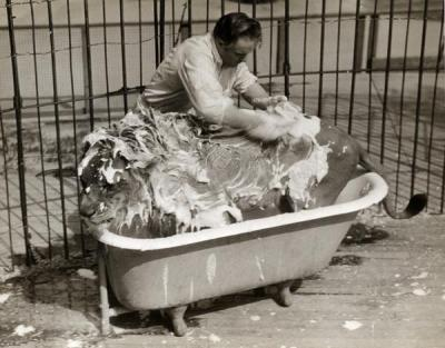 fyeah-history:  Circus lion in a bathtub, Wisconsin