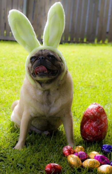 Easter Pug is not very reliable. He sleeps in later than the kids waiting for the eggs. That's just how Easter Pug rolls. :) ~ submitted by Travis M.