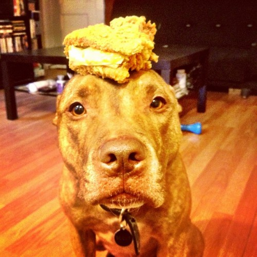 Follow the coolest dog ever. stuffonscoutshead:  #stuffonscoutshead - #kfc #foodporn #doubledown (Taken with instagram)