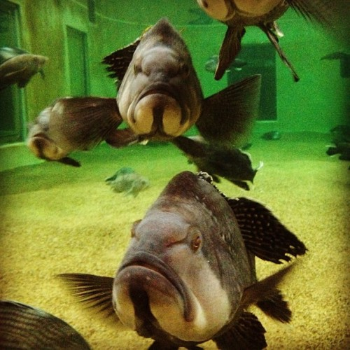 Black Sea Bass in a spawning tank. #fish #sexytime (Taken with Instagram at James J Howard Marine Sciences Lab)