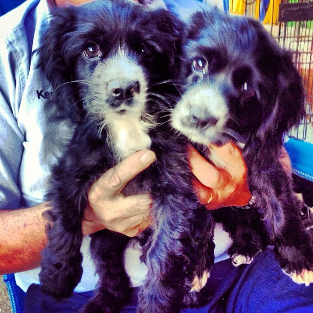 #Beau and #Boots our two #little #men #cute #adorable #cockerspaniel #puppies #puppy #petstagram #petoftheday #love  (Taken with instagram)