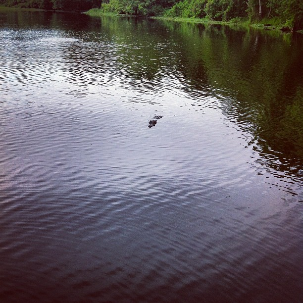 This gator is hanging with us (Taken with instagram)
