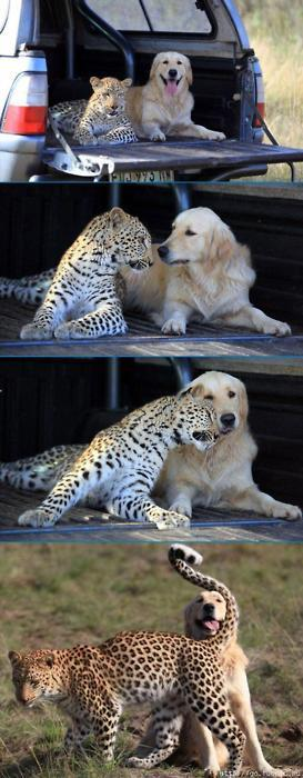 cheetah dog love
