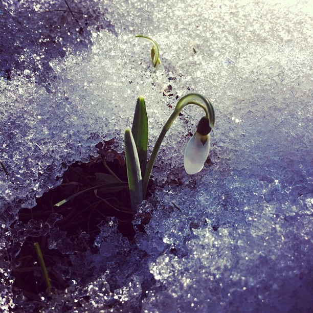 Snowdrop flower (Taken with instagram)