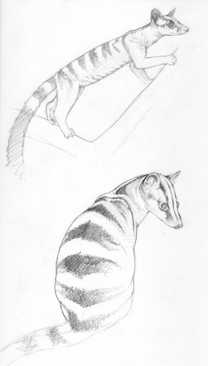 gymnure:  Banded palm civet sketches More at http://gymnure.tumblr.com/. If you would like to use any of my designs for tattoos etc I would be delighted, but PLEASE send me a picture :). Thanks