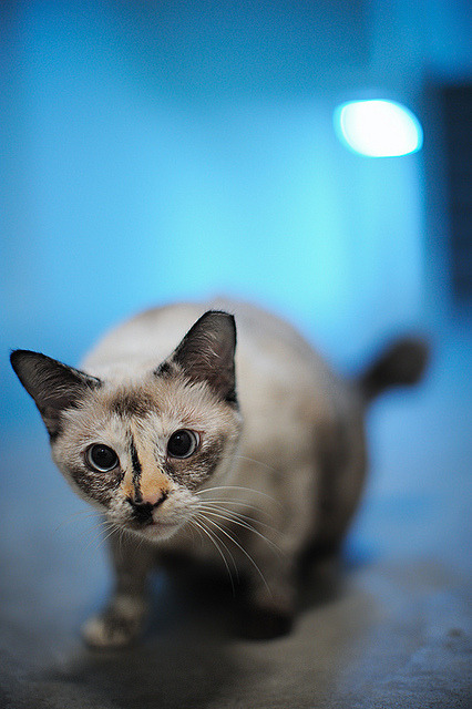 kittenjoy:  120328 - Blue by y_leong23 on Flickr.