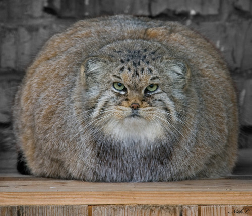 cleolinda:  dduane:  cruisecontrolforcool:  here is a pallas cat to restore sanity  Or possibly the return of Orson Welles.  [Image description: a Pallas cat glares at you head-on, reposing in a deceptively legless kitty-loaf style in a nondescript zooish rock-and-pine-board setting. It's basically a giant orb of furness with an unamused head in the middle. Let it be noted that you can literally divide the picture of this cat into thirds: left side, head, right side. It is HUGE and it HATES YOU.]