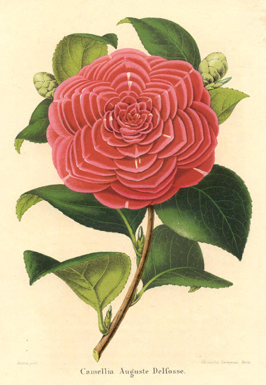 Theaceae - Camellia Auguste Delfosse. : Vigorous, compact, evergreen shrub, valued for luxuriant rich green foliage and medium, peony form, deep red flowers. (via Theaceae - Camellia Auguste Delfosse.)