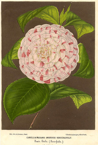 Camellia, the camellias, is a genus of flowering plants in the family Theaceae.  (via Theaceae - Camellia Madame Ambroise Verschaffelt.)