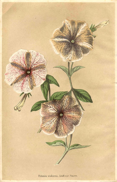 Petunia is genus of 35 species of flowering plants of South American origin, closely related to tobacco, cape gooseberries, tomatoes, deadly nightshades, potatoes and chili peppers; in the family Solanaceae.   (via Solanaceae - Petunia violacea Pizarre.)