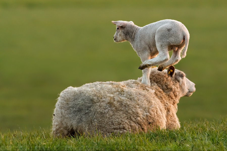 magicalnaturetour:  LeapFrogging Lamb by *thrumyeye :)